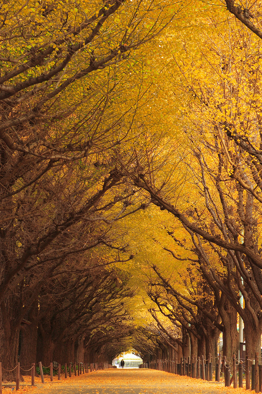 Ginkgo-Tree-Tunnel-in-Japan